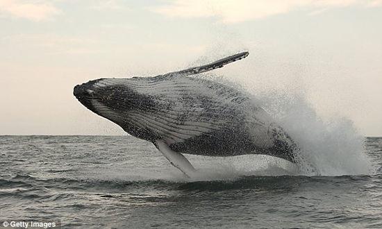 蓝鲸画图片大全大图_鲸鱼图片大全大图内容 鲸鱼图片大全大图版面设计