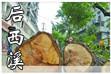 后西溪行道树被集体砍头 道路改造吞噬林荫大道