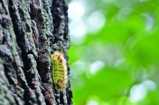 夏季去公园怕的不是热,而是怕被刺毛叮。日前,记者在无锡某论坛看到一则帖子说,公园游玩时经常会被刺毛叮到,不堪其扰。网民们对这则帖子的内容都深有同感,虽然毛毛虫能变换出美丽的蝴蝶,是小鸟眼中的美餐,但对于人类来说却是一个不小的麻烦,它们身上的毛刺一旦叮在人体上会引起痛痒等不适感。昨日,记者从各大景区了解到,今年公园的病虫害比较严重,目前景区正在采用生物、农药等多种办法减少病虫害。他们提醒游客,这些害虫爱呆的树木,游客尽量不要靠近。   雨少高温,今年公园虫害尤为严重   有网友发帖说:这两天去锡惠公园,