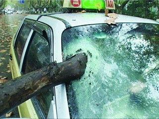 梧桐树刺破的士挡风玻璃