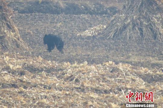 下山闲逛的黑熊 刘志诚 摄