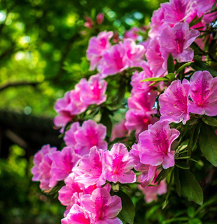 无锡市市花