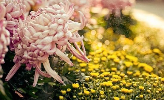 锡惠公园菊花赏