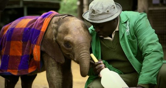 视频:公益广告姚明保护大象(小象孤儿篇)